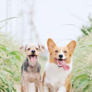Psy dorosłe- mięso